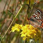 "The Quino Checkerspot Butterfly (Euphydryas editha quino) is federally listed as ""Endangered"" throughout its range in California and New Mexico. Credit, US Fish and Wildlife Service."