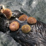 Sea otters consume sea urchins and help keep the undersea kelp forest healthy. Credit, Vancouver Aquarium.